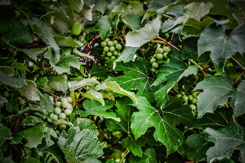 fruit of the vine stock photography