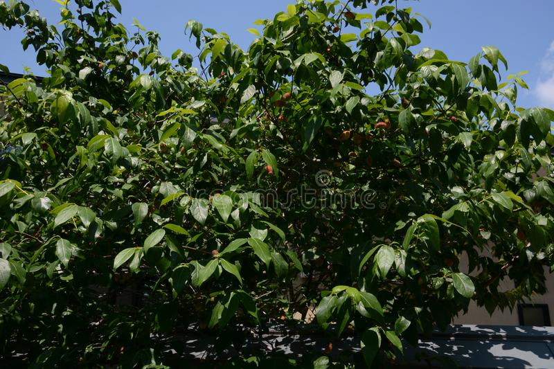 Fruit of Wintersweet stock photos