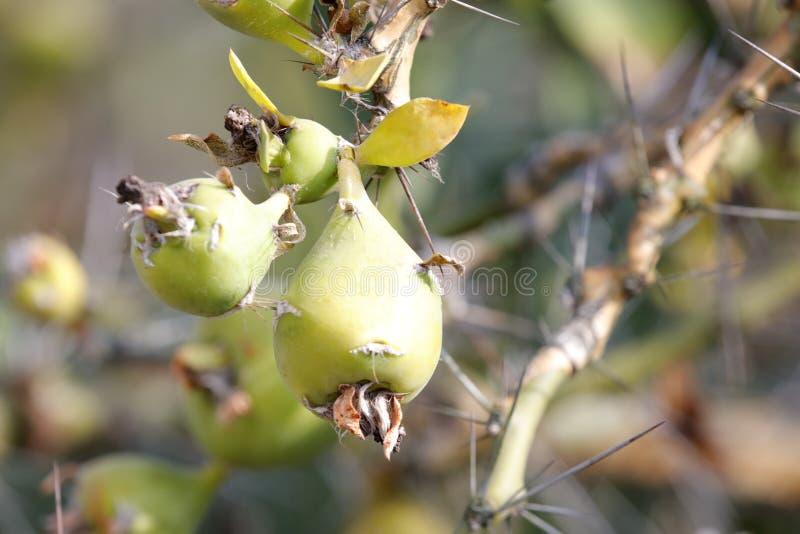 Fruitage da planta suculento, adôbe rgb imagens de stock royalty free