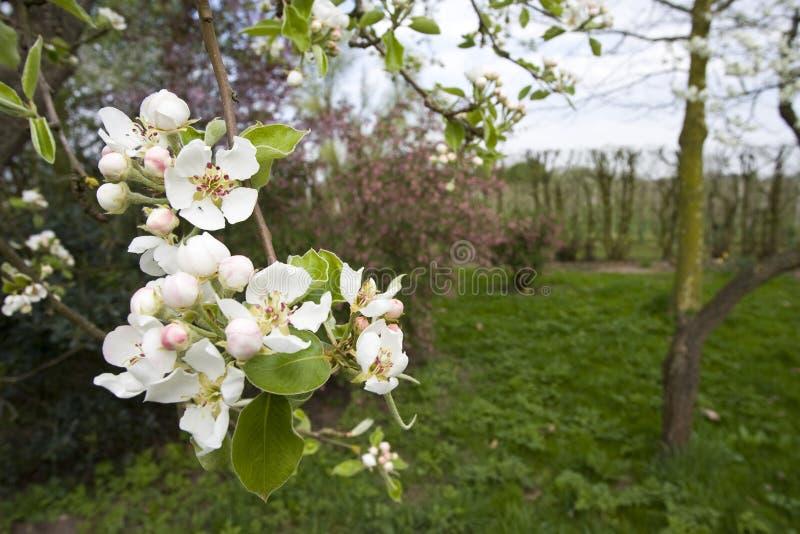 Fruitbomen; Huertas fotografía de archivo