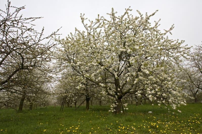 Fruitbomen; Orchards. Fruitbomen in de Betuwe; Orchards in the Betuwe stock photo