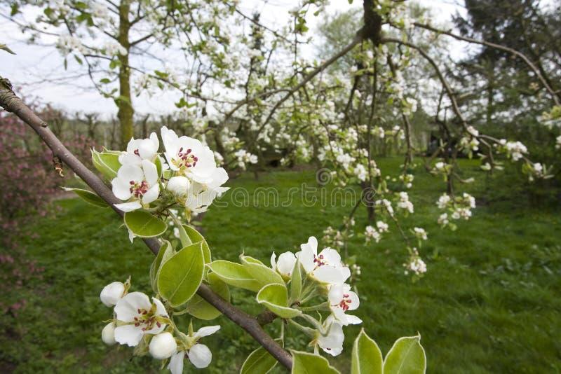Fruitbomen; Orchards. Fruitbomen in de Betuwe; Orchards in the Betuwe stock images