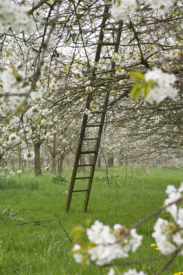 Fruitbomen; Orchards. Fruitbomen in de Betuwe; Orchards in the Betuwe stock image