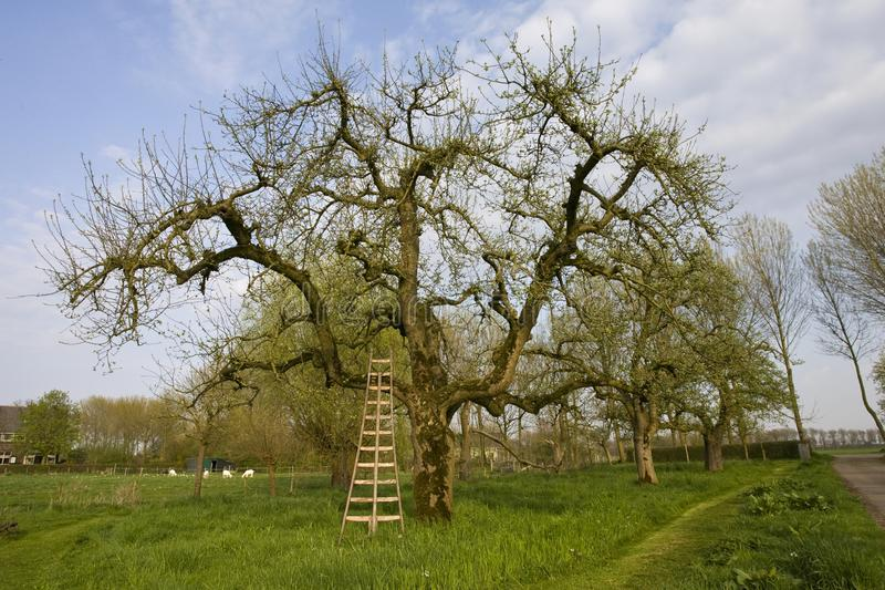 Fruitbomen; Orchards. Fruitbomen in de Betuwe; Orchards in the Betuwe royalty free stock image