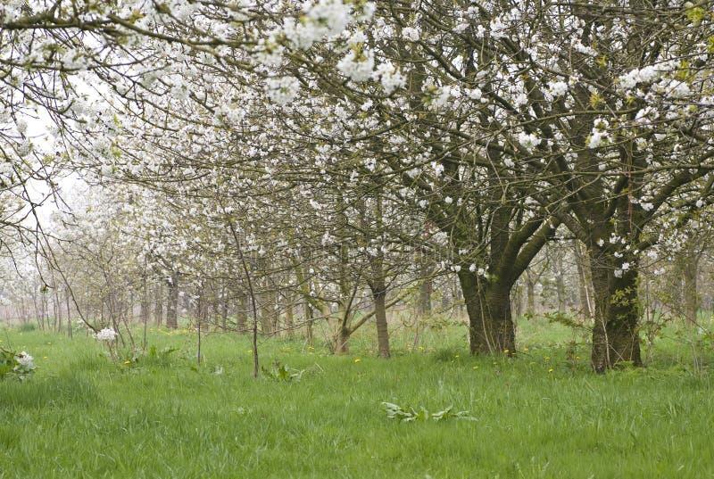 Fruitbomen; Orchards. Fruitbomen in de Betuwe; Orchards in the Betuwe royalty free stock photos
