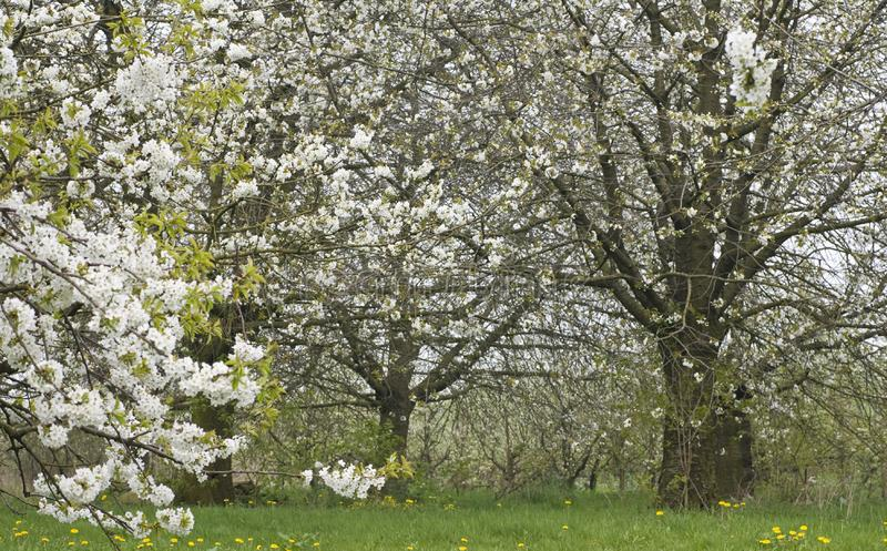 Fruitbomen; Orchards. Fruitbomen in de Betuwe; Orchards in the Betuwe royalty free stock photo