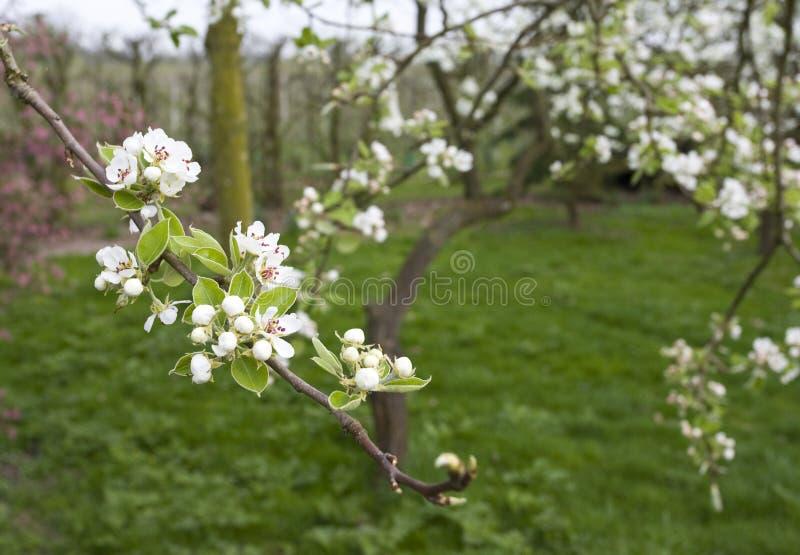 Fruitbomen; Orchards. Fruitbomen in de Betuwe; Orchards in the Betuwe stock photography