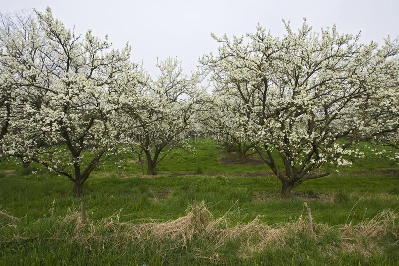 Fruitbomen; Orchards. Fruitbomen in de Betuwe; Orchards in the Betuwe stock photos