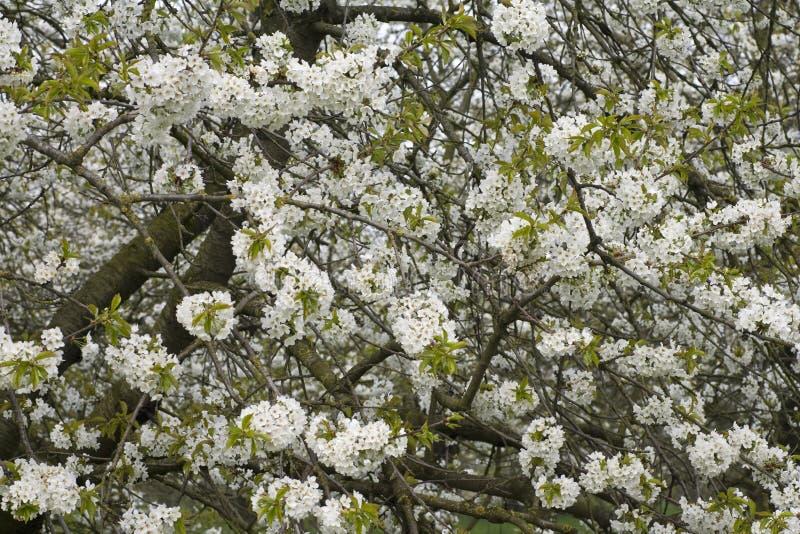 Fruitbomen; Orchards. Fruitbomen in de Betuwe; Orchards in the Betuwe royalty free stock photography