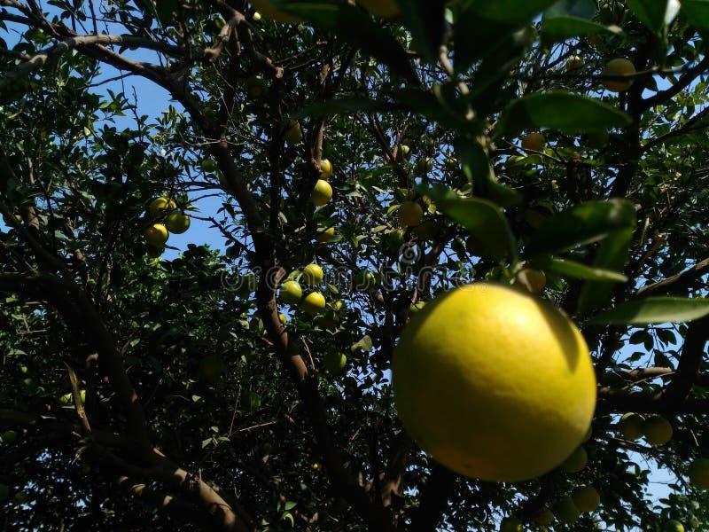 Fruitboom royalty-vrije stock foto's