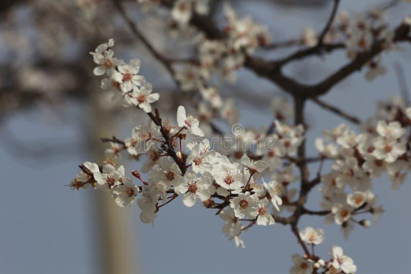 Fruitboom het tot bloei komen royalty-vrije stock afbeeldingen