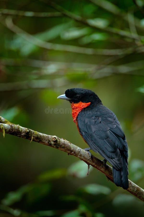 Fruitcrow vermelho-ruffed, scutatus de Pyroderus, pássaro tropico raro exótico no habite da natureza, obscuridade - floresta verd imagens de stock royalty free