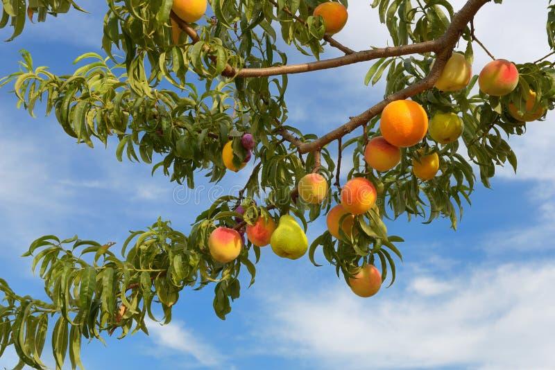 Fruiterer royalty free stock photography