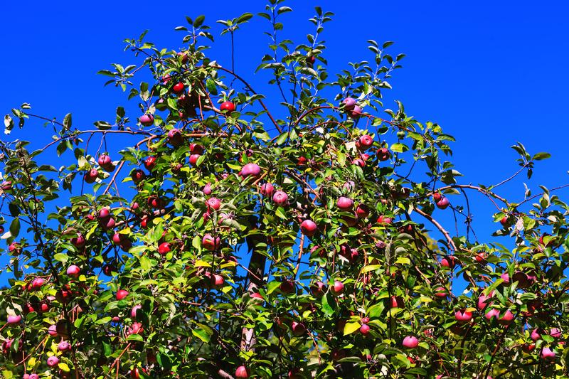 Fruitful branches of apple tree with red and purple apples on background of royalty free stock photos