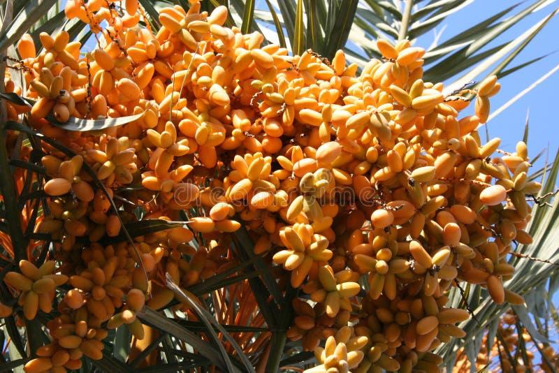 Fruitige palm stock afbeeldingen