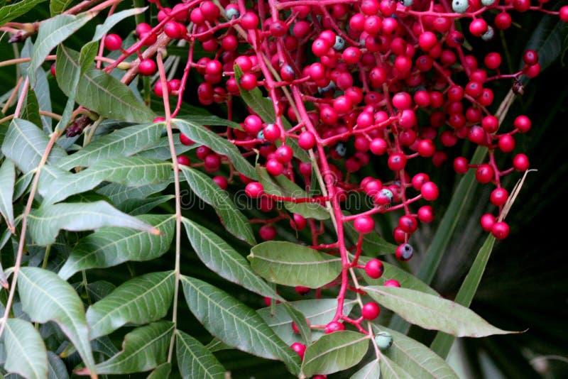 Fruiting δέντρα του κινεζικού φυστικιού, Pistacia chinensis με τα pinnate σύνθετα φύλλα και τις κρεμώντας δέσμες των μικρών κόκκι στοκ εικόνες