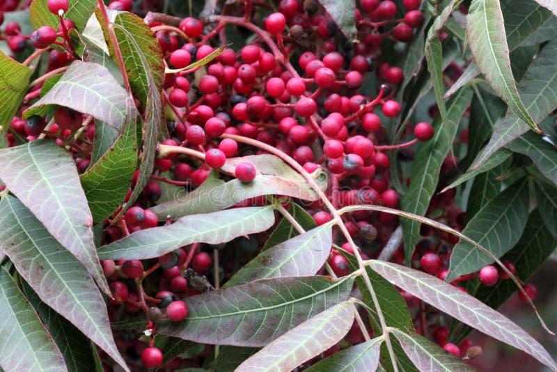 Fruiting δέντρα του κινεζικού φυστικιού, Pistacia chinensis με τα pinnate σύνθετα φύλλα και τις κρεμώντας δέσμες των μικρών κόκκι στοκ φωτογραφίες με δικαίωμα ελεύθερης χρήσης