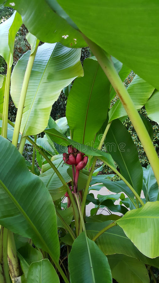 Fruiting Banana Plant Musa acuminata. Showing small red fruit on plant stock photos