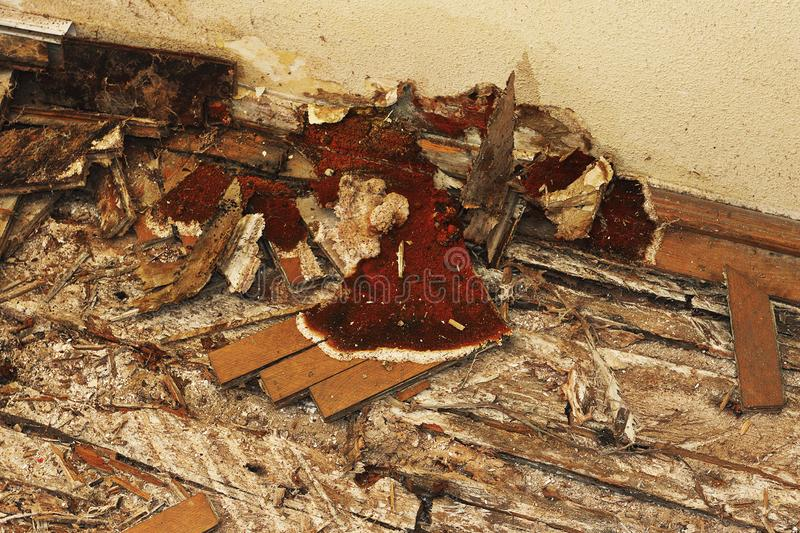 Fruiting body of dry rot on the floor. Serpula syn Merulius lacrymans ; the parquet and the wooden elements are completely destroied stock photo