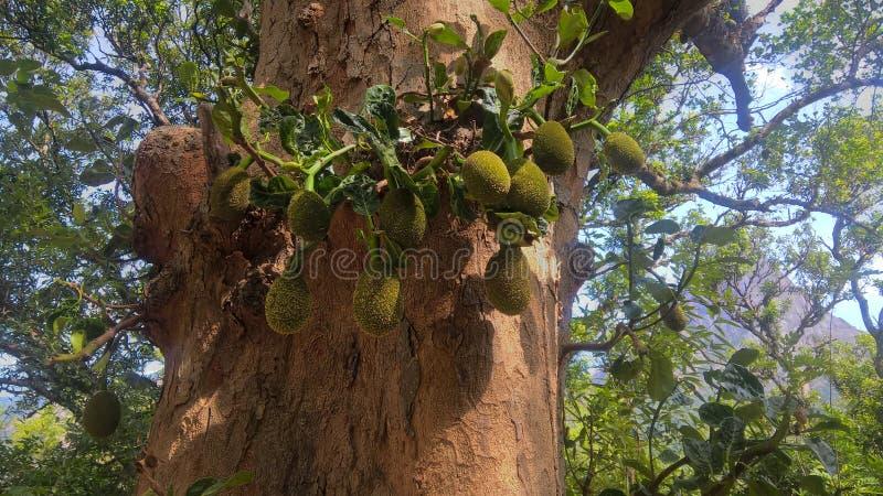 Fruiting dźwigarki drzewo obraz stock