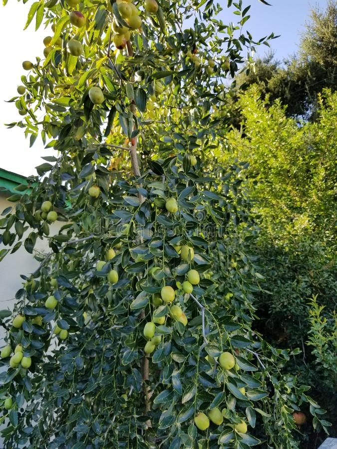 Fruiting date tree. On a sunny day royalty free stock photography