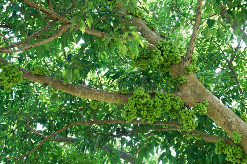 Fruiting fig tree in nature, Cluster fig tree, thailand fig tree or fig,figs fruit tree.  stock image