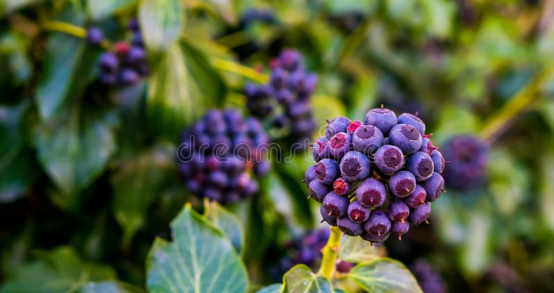Fruiting ivy plant with purple and blue berries in closeup, botanic garden, natural garden background. A fruiting ivy plant with purple and blue berries in royalty free stock photos