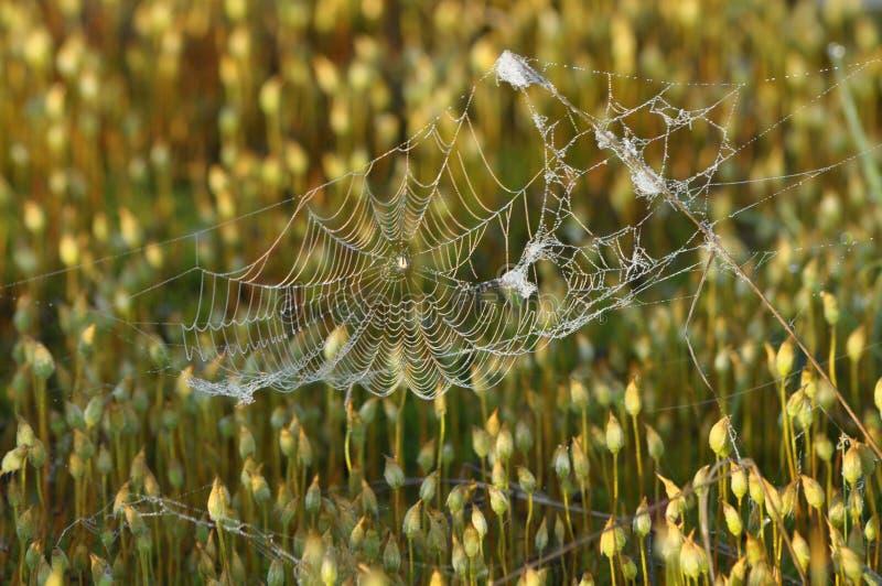Fruiting mos Close-up van ??n enkel structureel elementenmos Grote details! royalty-vrije stock foto's