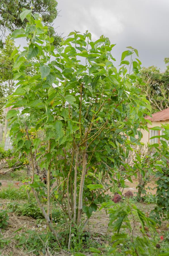 Fruiting Mulberry Tree. In a small garden by an old house is a small fruiting mulberry tree having pink mature fruits. The tree grows with many branches from royalty free stock images