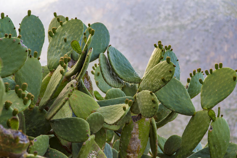 Fruiting nopal (prickly pear) cactus near Trapani, Sicily. In Italy royalty free stock photography
