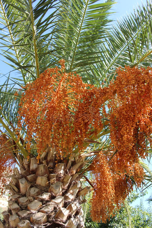 Fruiting palm tree. A fruiting palm tree dripping with heavy clusters of bright orange berries royalty free stock image