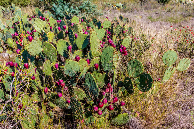 Fruiting Texas Prickly Pear Cactus in the Texas Prairie. Fruiting Texas Prickly Pear Cactus (Opuntia lindheimeri) in the Texas Prairie stock photography