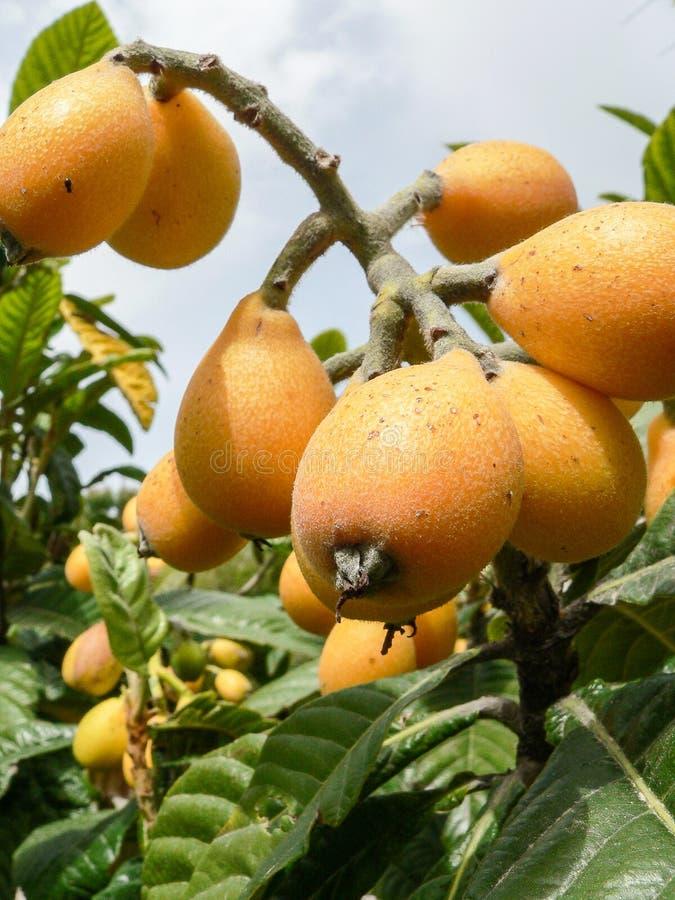 Fruitinstallaties Eriobotryajaponica royalty-vrije stock fotografie
