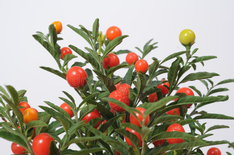 Download Fruitplant stock photo. Image of small, isolated, fruits - 21863672
