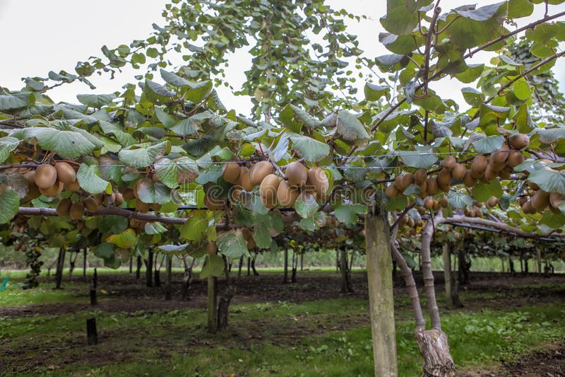 fruits золотистый киви стоковое фото rf