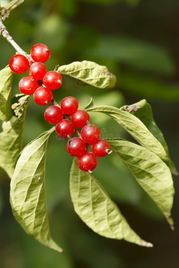 fruits каприфолий стоковое фото rf