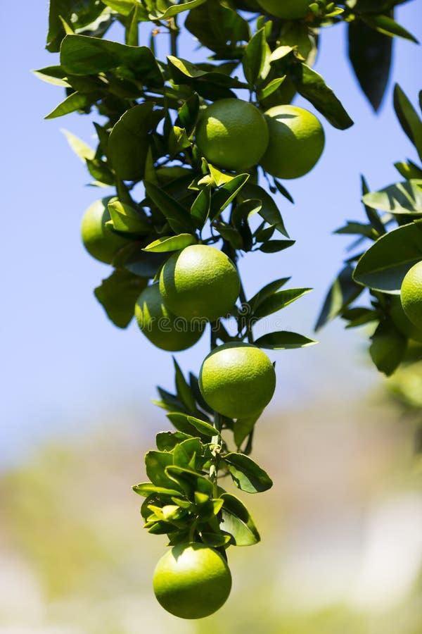 fruits померанцовый вал стоковая фотография rf