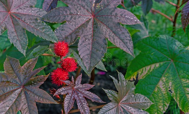 Fruits of the castor tree. Castor-bean tree with red prickly fruits and colorful leaves royalty free stock images