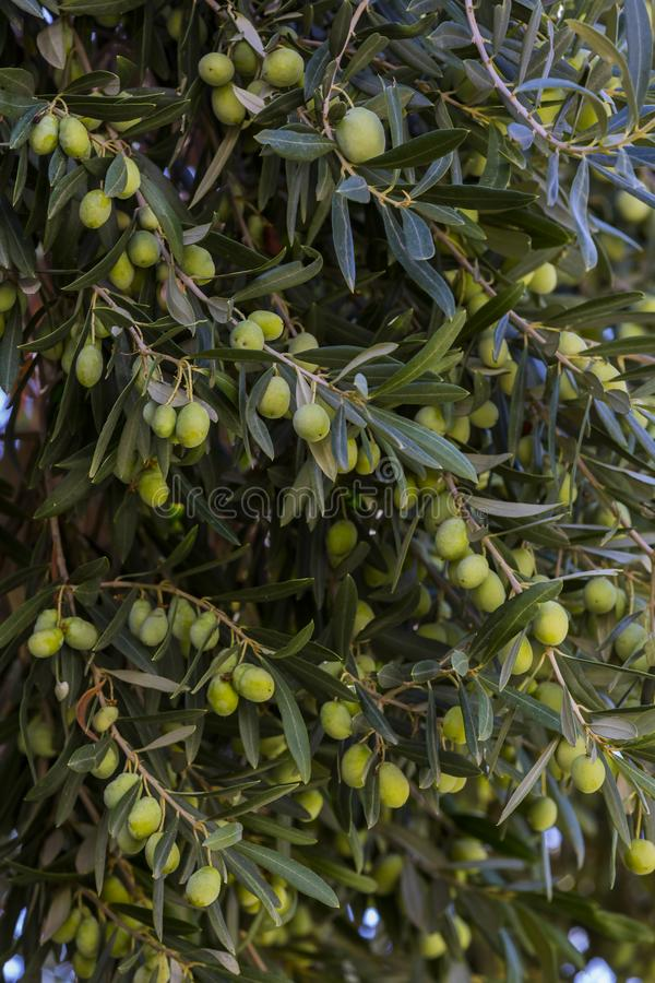 Fruits of citrus orange tree branches royalty free stock images