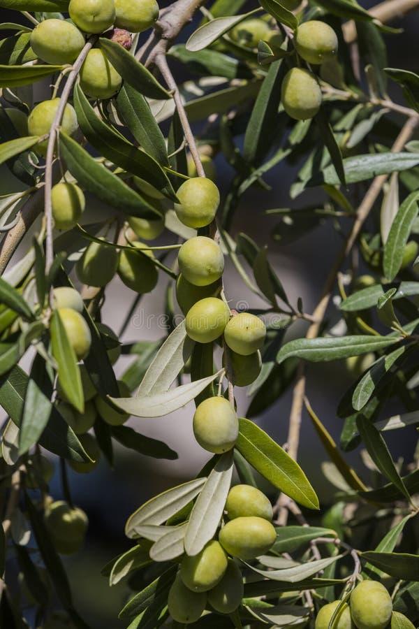 Fruits of citrus orange tree branches stock photo