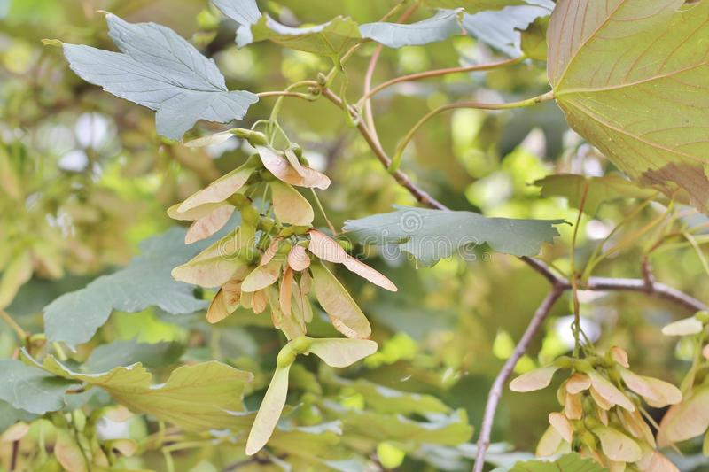 Fruits d'érable de sycomore image stock