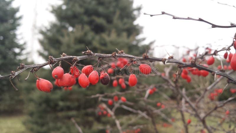 Fruits d'hiver image libre de droits