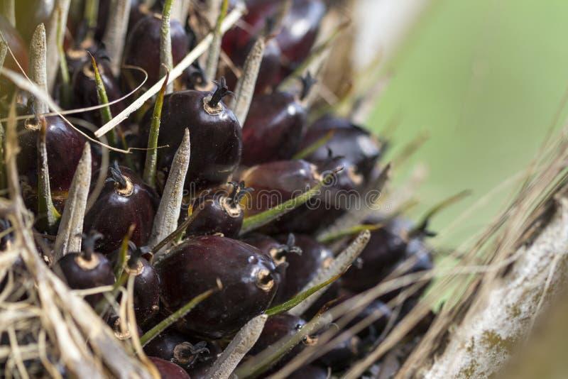 Fruits d'huile de palme sur elaeis guineensis de palmier chez la Thaïlande images libres de droits