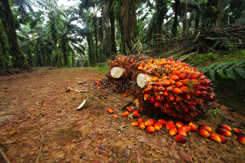Fruits d'huile de palmier dans la plantation photo libre de droits