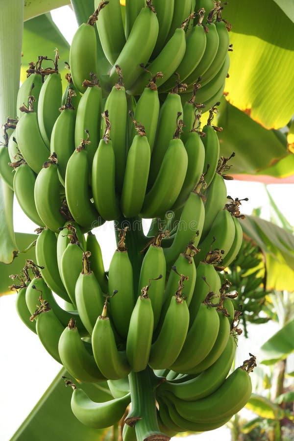Fruits de banane photo stock
