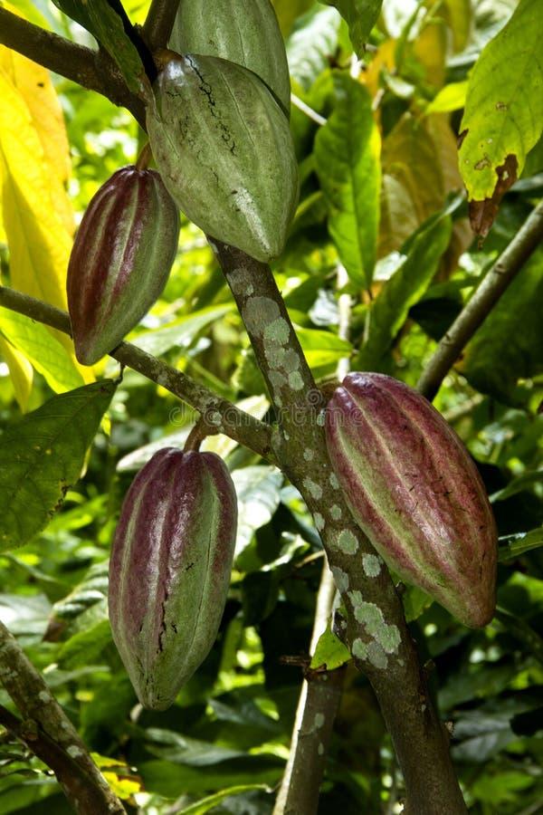 Fruits de cacao images libres de droits