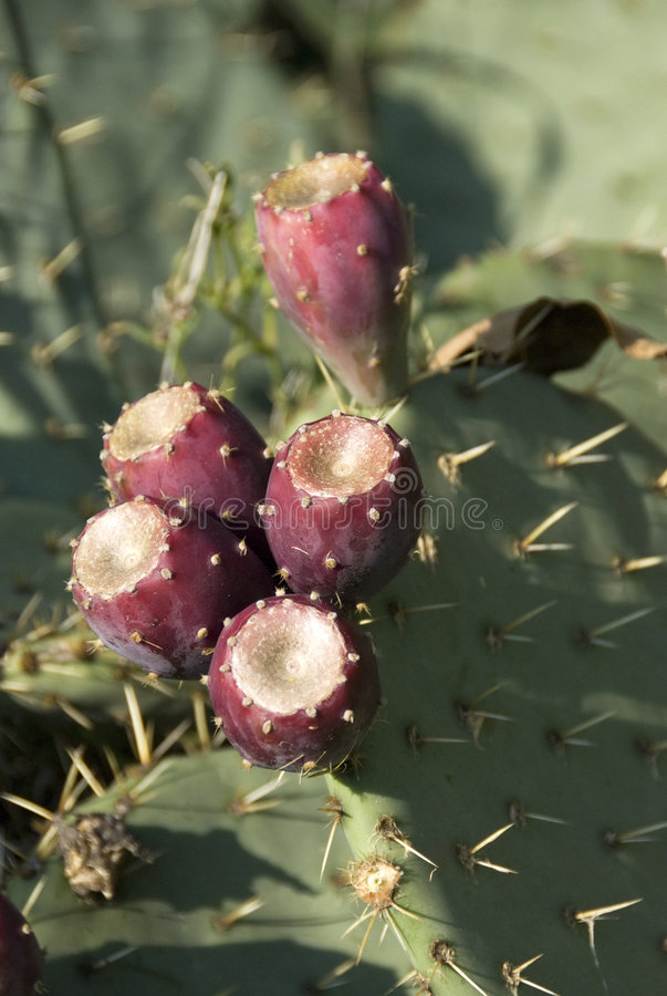 fruits de cactus photo libre de droits