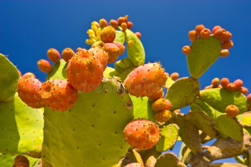 Fruits de cactus image libre de droits