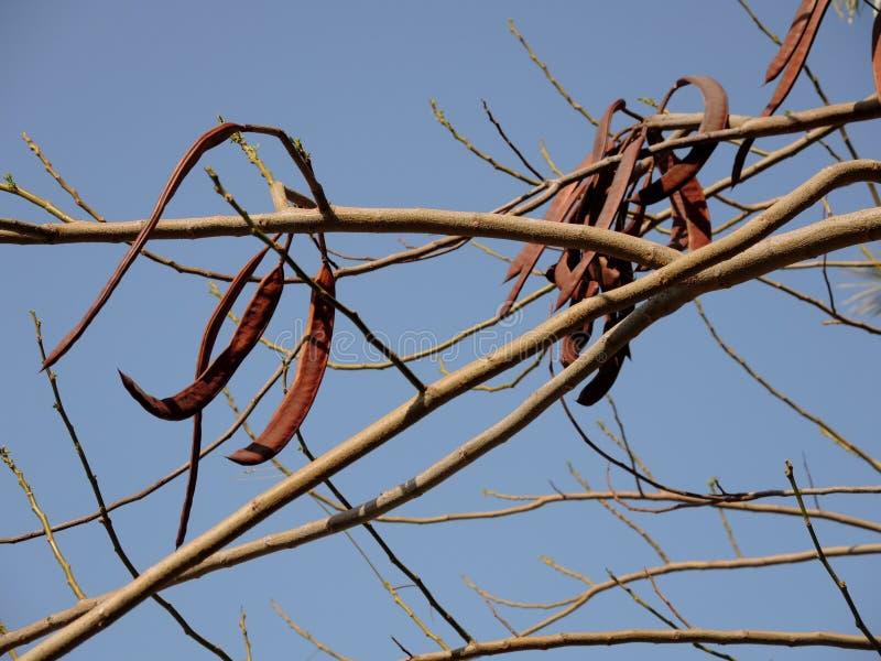 Fruits de caroube à feuilles persistantes images libres de droits