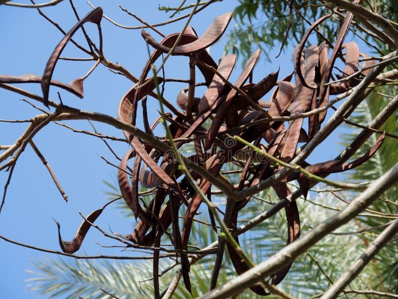Fruits de caroube à feuilles persistantes photographie stock libre de droits